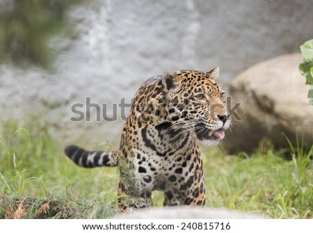 Powerful Jaguar - stock photo