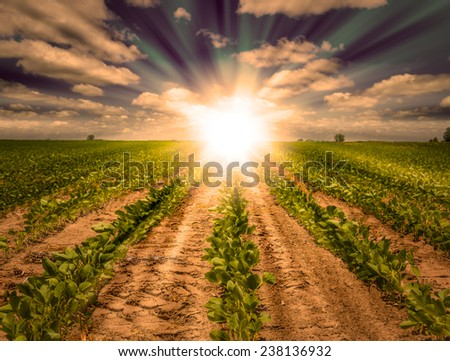Powerful Sunrise with beams of light on a farm land behind rows of growing soybean crops. Blue Sky with white clouds and golden light. Focus on the front.