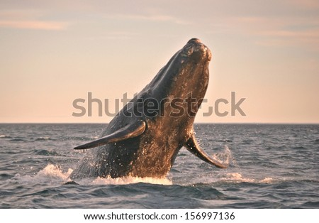 Powerful Whale flying - stock photo