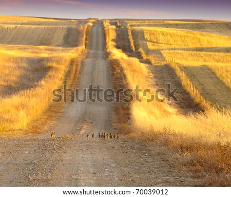 Prairie chicken on the road - stock photo