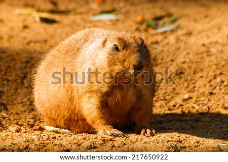 Prairie closely waiting what happen in sand - stock photo