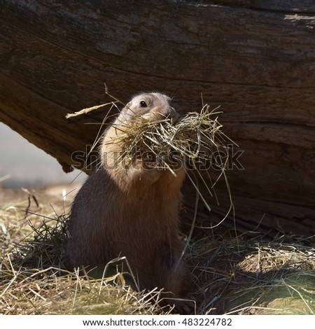 prairie dog builds its hole