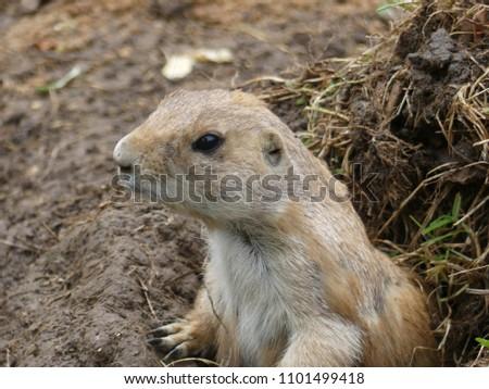 stock-photo-prairie-dog-cynomys-emerges-
