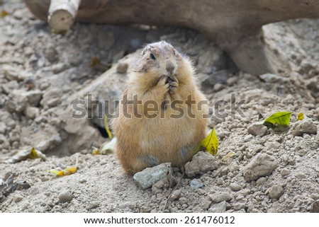 Prairie-dog eating - stock photo