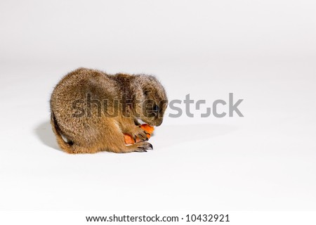 prairie dog eating a carrot
