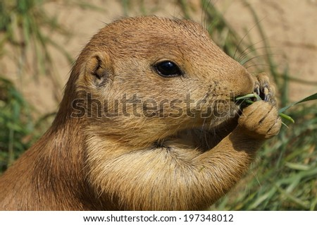 Prairie dog eating lunch