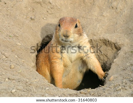 Prairie dog guarding the entrance of the cave. - stock photo