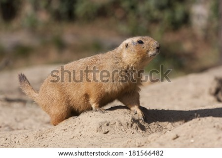 prairie dog in a zoo