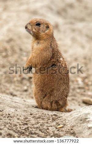 Prairie dog is watching - stock photo