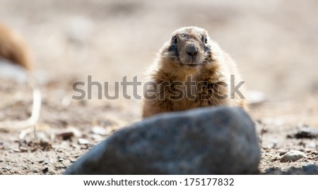 Prairie dog on a rock looking into the camera. - stock photo