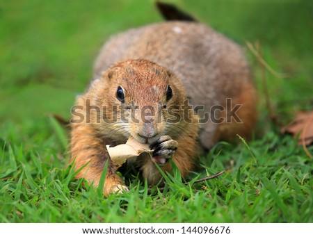 prairie dog on field in garden - stock photo