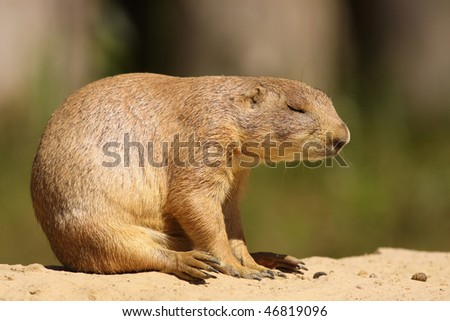 Prairie dog sleeping - stock photo