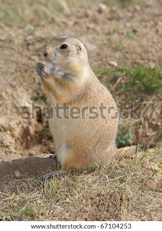 prairie dog that has something it is going to eat - stock photo