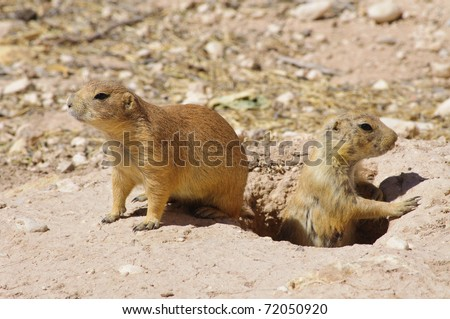 prairie dogs and hole - stock photo