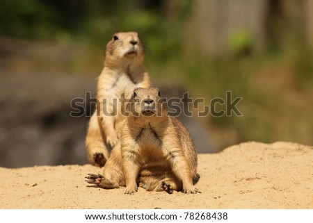 Prairie dogs (focus on the first one) - stock photo