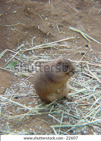 Prairie dogs in their native environment. Nuisance in America but beloved pets in Japan. - stock photo