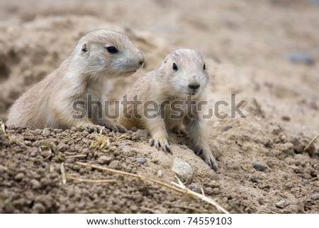Prairie Dogs stand alert and at the ready.