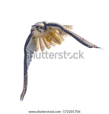 Prairie Falcon in flight  (isolated)  - stock photo