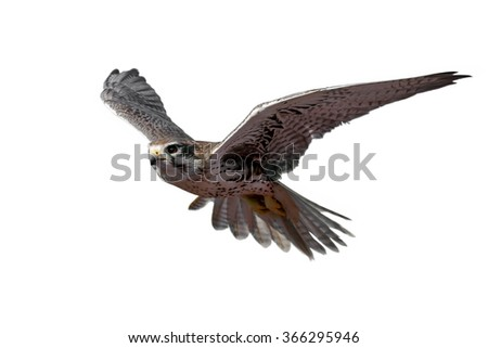 Prairie Falcon in flight (isolated) - stock photo