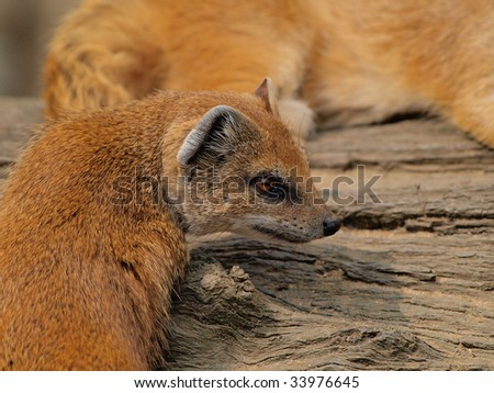 prairie fox laying on a branch - stock photo