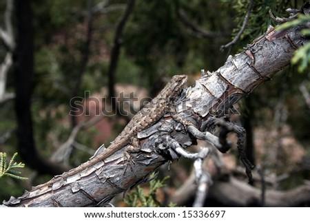 Prairie Lizard (Sceloporus consobrinus) - stock photo