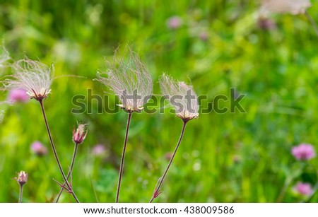 Prairie smoke wildflowers in summer