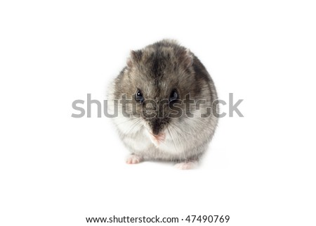 Praying Hamster, Isolated on White