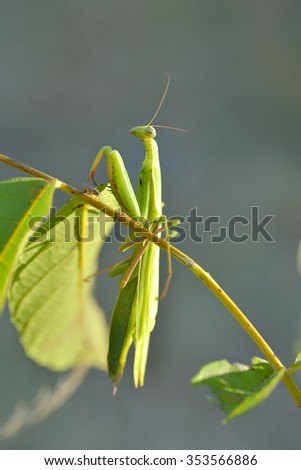 Praying Mantis insect in nature as a symbol of green natural extermination and pest control with a predator that hunts and eats other insects as an icon of entomology biology education. - stock photo