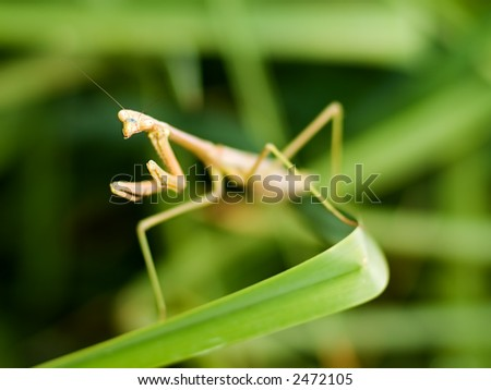 Praying Mantis on lily leaf, looking at YOU