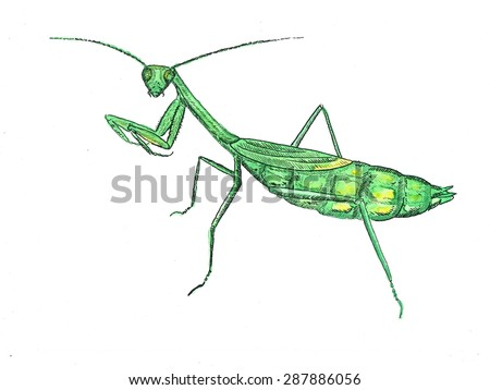 Praying mantis watercolor illustration - stock photo