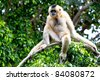 Precious specimen of Gibbon of golden cheeks - stock photo