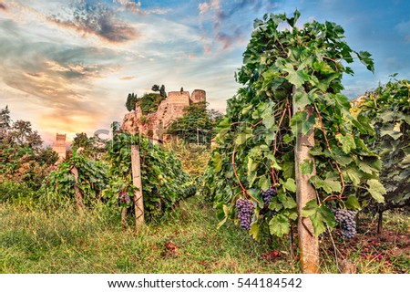 Predappio, Emilia Romagna, Italy: italian vineyard for wine production at dawn - rows of grapevine with a castle in the background