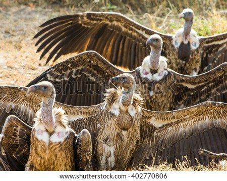 Predator birds are sitting on the ground. Kenya. Tanzania. Safari. East Africa.  - stock photo