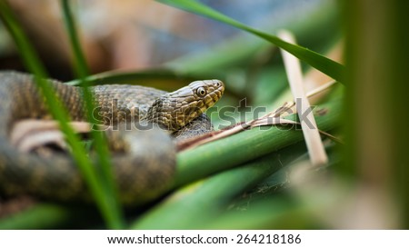 Predator green grass snake (Natrix natrix) hiding in the reeds at the waterside and waiting for unsuspecting victim - stock photo
