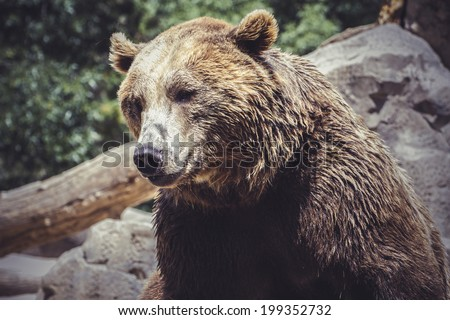 predator, Spanish powerful brown bear, huge and strong  wild animal - stock photo