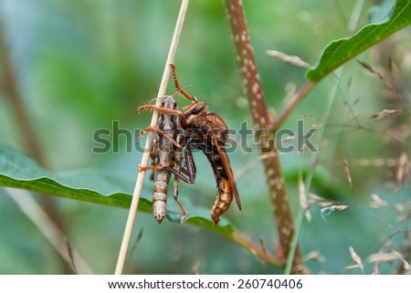 Predatory Asilidae - stock photo