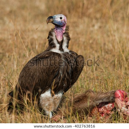 Predatory bird eat the prey in the savannah. Kenya. Tanzania. Safari. East Africa. - stock photo