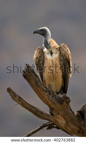 Predatory bird is sitting on a tree. Kenya. Tanzania. Safari. East Africa.  - stock photo
