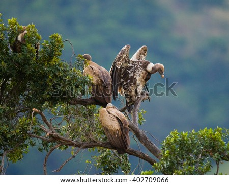 Predatory birds are sitting on a tree. Kenya. Tanzania. Safari. East Africa. An excellent illustration. - stock photo