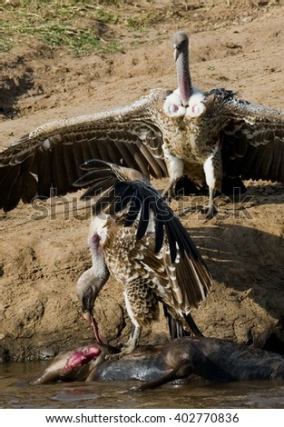 Predatory birds eat the prey in the savannah. Kenya. Tanzania. Safari. East Africa.  - stock photo