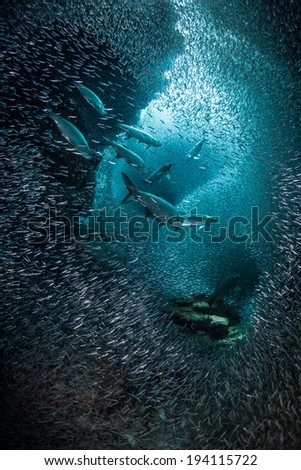 Predatory tarpon swim through a thick school of silversides as they swarm in a submerged cavern on the island of Grand Cayman. Silversides are seasonal and serve as prey to many reef predators. - stock photo