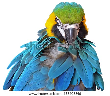 Preening Blue and Gold Macaw isolated on white background - stock photo