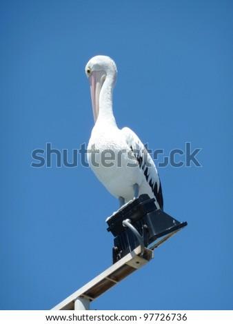 Preening pelican - stock photo