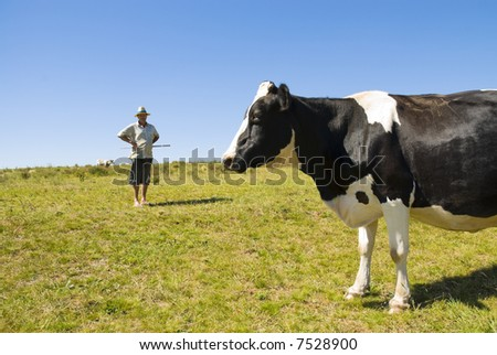 Pregnant cow with dairy farmer in the background. Blue sky and green grass. - stock photo