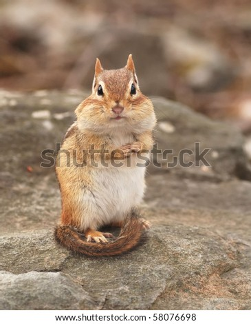 pregnant female chipmunk stops to pose - stock photo