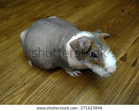 Pregnant female skinny guinea pig on a wooden table - stock photo