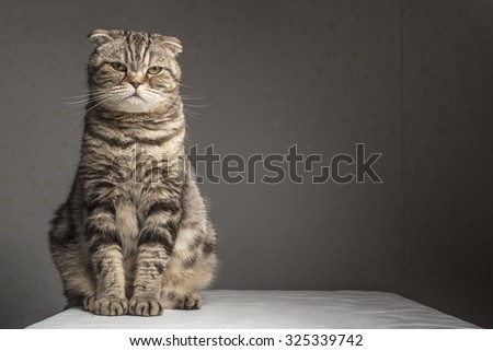 Pregnant thick gray striped scottish fold cat sitting on a table covered with a white cloth and looking at the camera  - stock photo