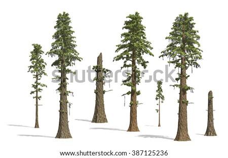 Prehistoric Sequoia tress render on white background. - stock photo