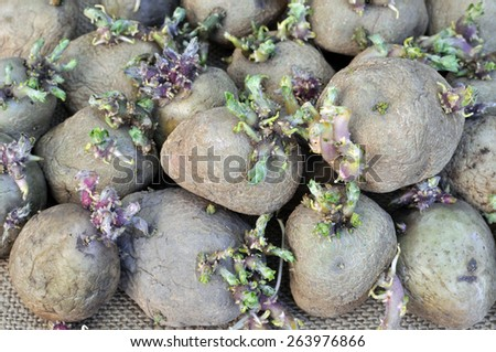prepared germinating potatoes before the planting - stock photo