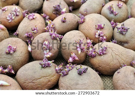 prepared germinating potatoes before the planting